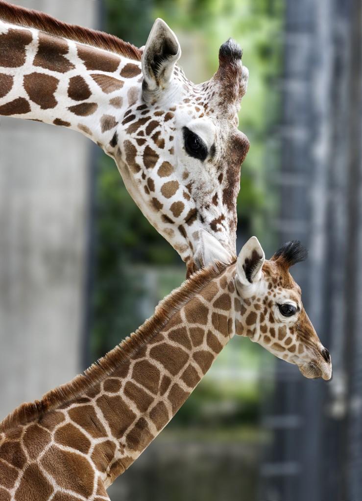 Das knapp 14 Tage alte Giraffenmädchen Leonie und ihre Mutter Kiburi auf der Vorkoppel Bild: Wilhelma Stuttgart